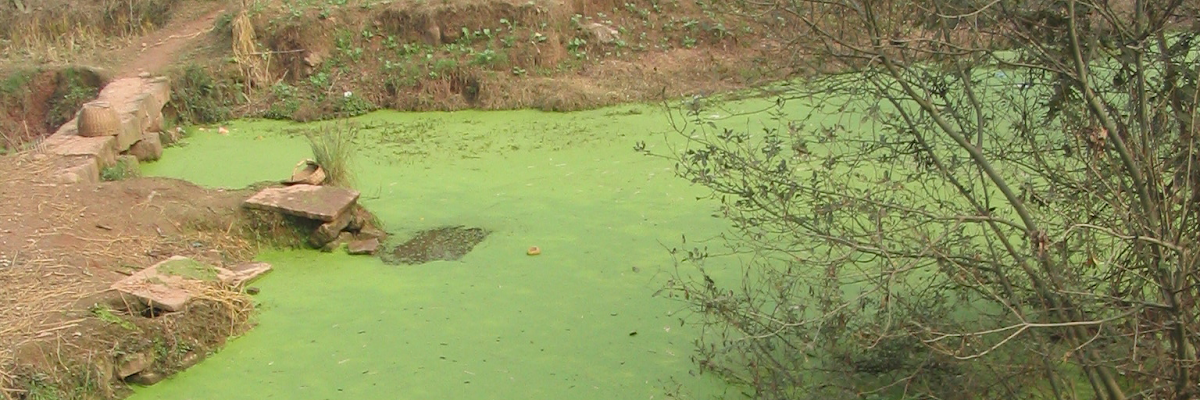 Algae Polluted Water